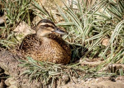 A Suzy or female mallard sitting in grass