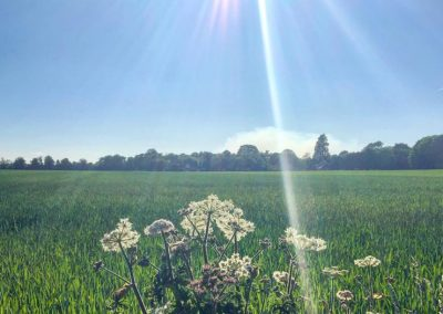 A view over a grass field in sunshine with cow parsley in the foreground