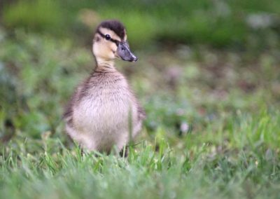 A close up of a duckling in grass