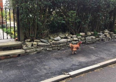 A chicken walking along the footpath