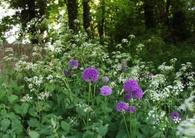 Cow parsley and purple aliums growing in a wood