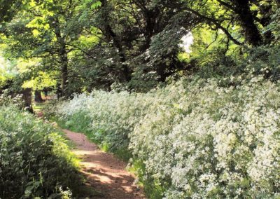 A footpath through cow parsley