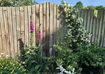 Pink foxgloves in a cottage garden