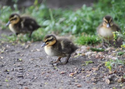 A close up of three ducklings